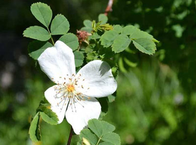 钝叶蔷薇植物知识