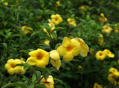 软枝黄蝉形态特征