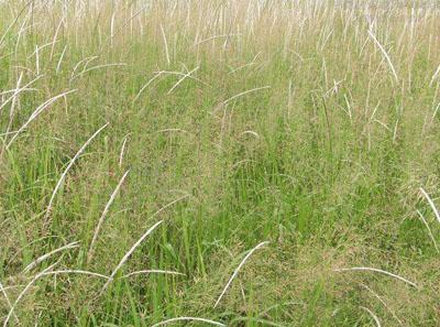 野古草植物价值