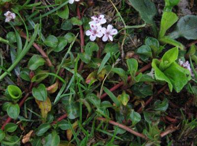 星宿菜植物资料