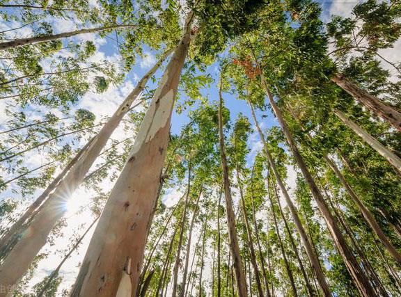 桉树是如何成为广西产业支柱的?